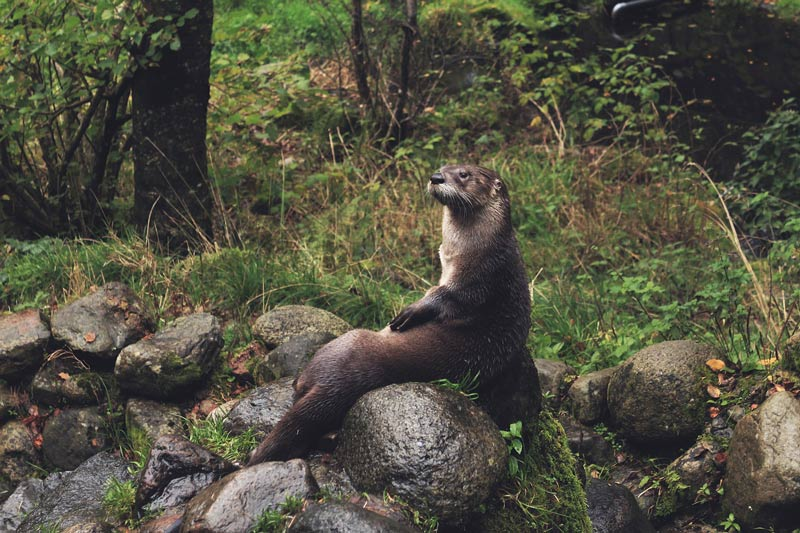 otter in nature