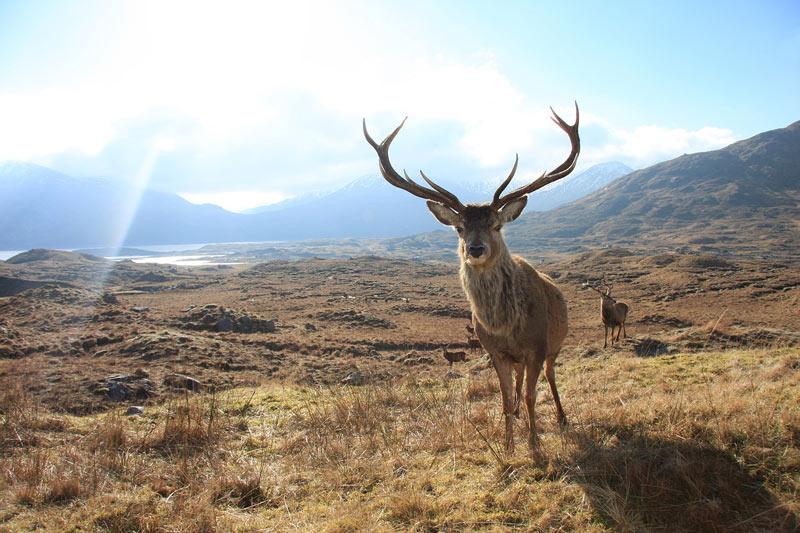 red deer in Lake District